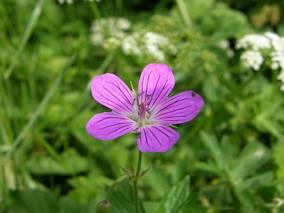 Samotny kwiatek, Bodziszek