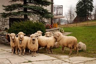 Owieczki, Poronin