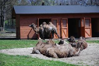 Wielbłądy