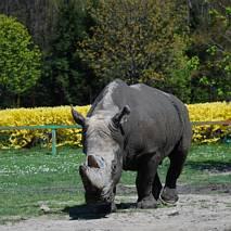 Nosorożec - półsuchy