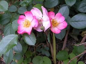 Dzika róża, Wildbad