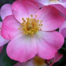 Portret dzikiej róży