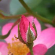 Pączek róży