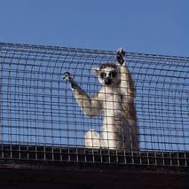 Lemurek