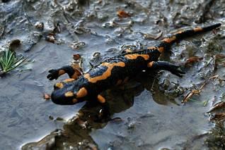 Salamandra krocząca...