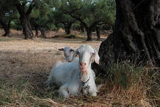 Kozy, wszędzie kozy...