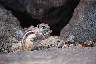 Pręgowiec berberyjski - rodzaj wiewiórki