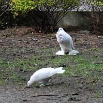 Gołębie rasowe