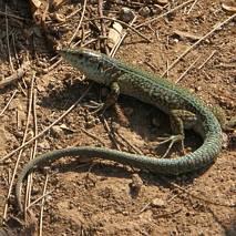 Zielona jaszczurka, Majorka